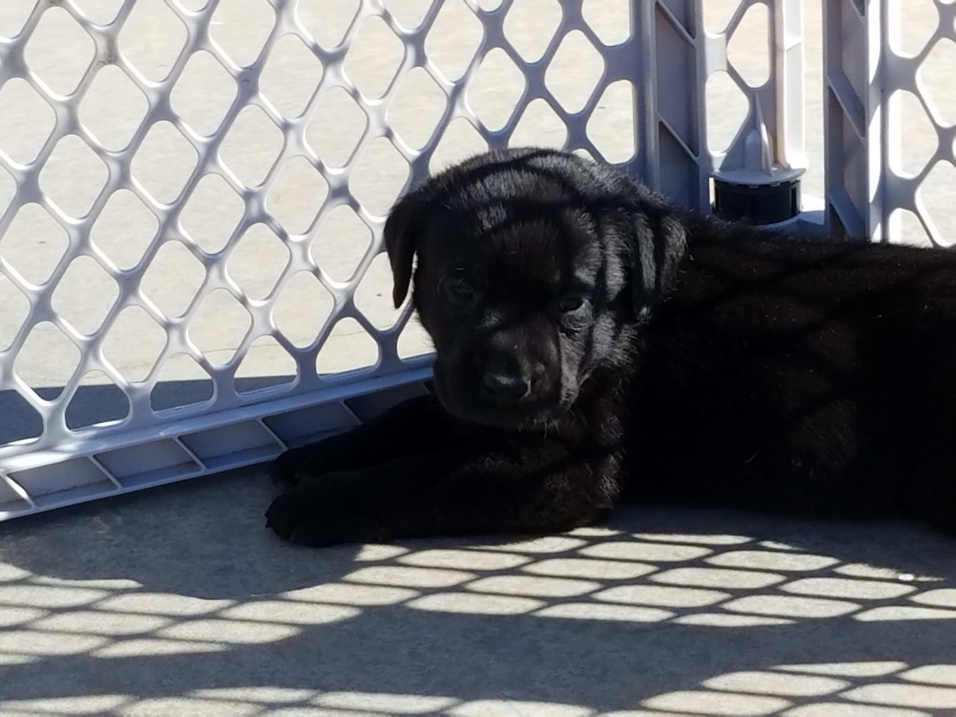 BobbySagePuppies/bspuppy2.jpg